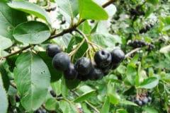 growing-aronia-berry